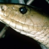 The black mamba is one of the fastest and most dangerous snakes in Africa. Courtesy Photo