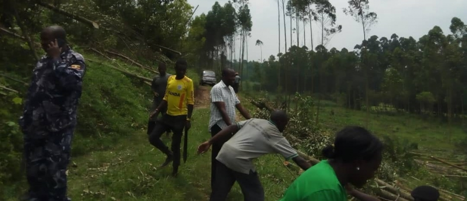 Kabarole district officials escorted by police clear Kayondo's illegally planted Eucalyptus trees. Photo by Steven Ainganiza