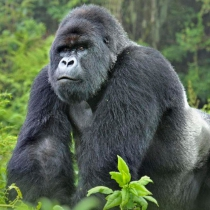 Bwindi impenetrable forest is home to gorillas, a major tourist attraction. Courtesy photo