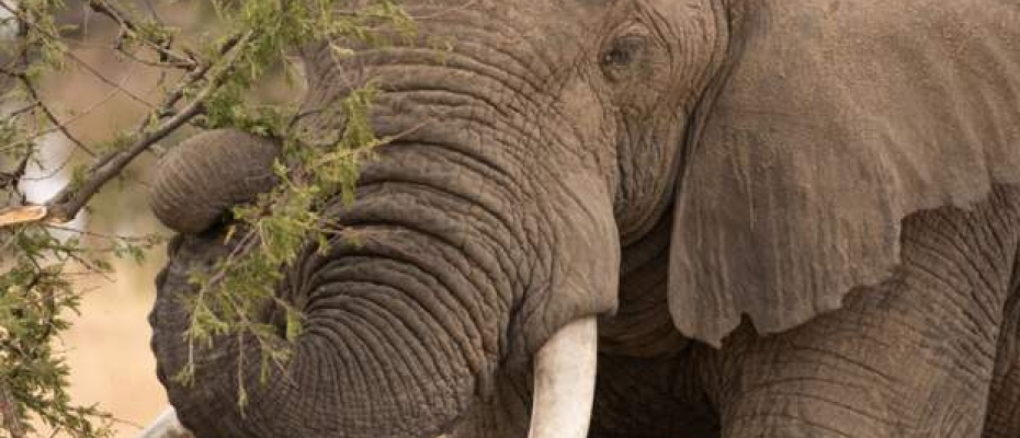 The government says its anti-poaching drive is responsible for the rise in the number of elephants. Courtesy photo