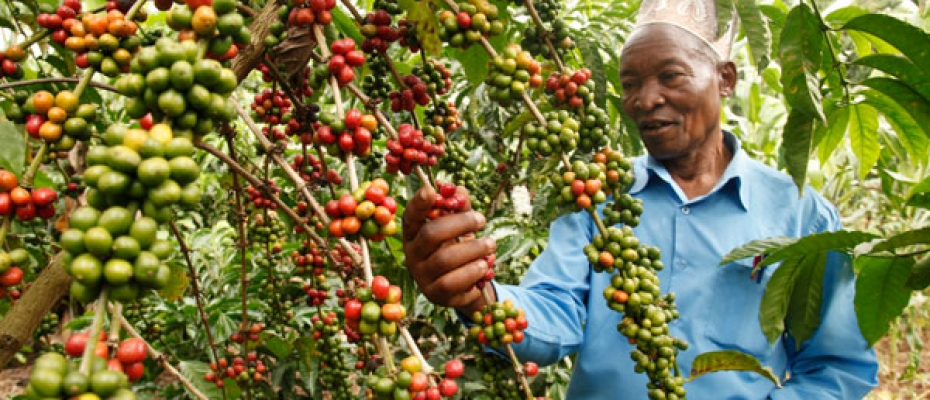 Mustafah Kahakaira admires his ripe coffee beans which are ready for harvesting